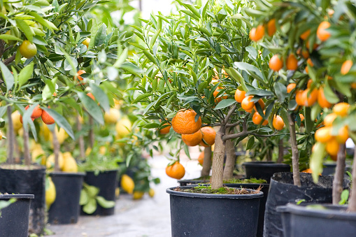 Various citrus trees in black five gallon buckets