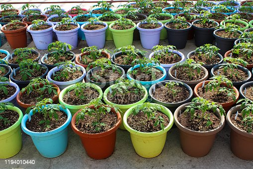 Various colored pots of tomato seedlings on a greenhouse floor.