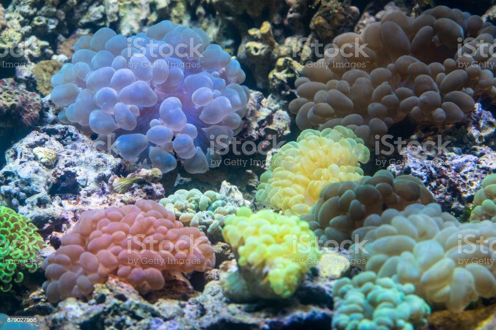 Various colorful sea anemone stock photo