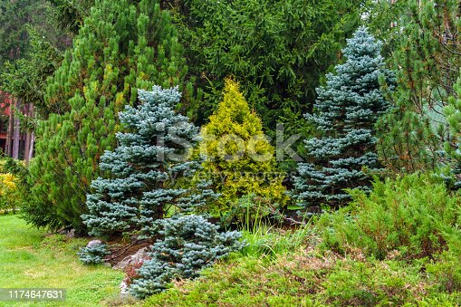 group of different conifers used in landscaping in park
