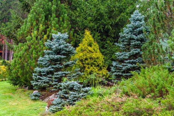 olika barrträd som en del av landskapsplanering - gran bildbanksfoton och bilder