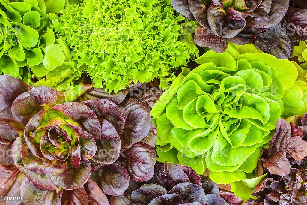 Various crops of fresh lettuce stock photo