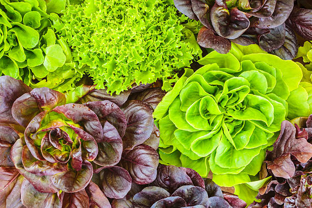 various crops of fresh lettuce - lettuce stock pictures, royalty-free photos & images