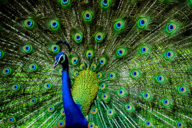 Various dance poses of an Indian Male Peacock stock photo
