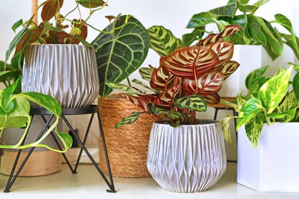diverse verschillende tropische huisinstallaties in bloempotten die op plank worden geschikt - kamerplant stockfoto's en -beelden