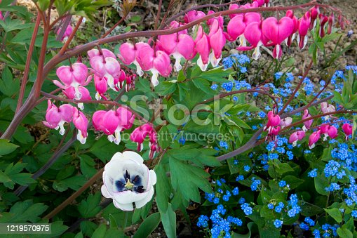 Bleeding heart, forget-me-not and tulip blossoming in the garden