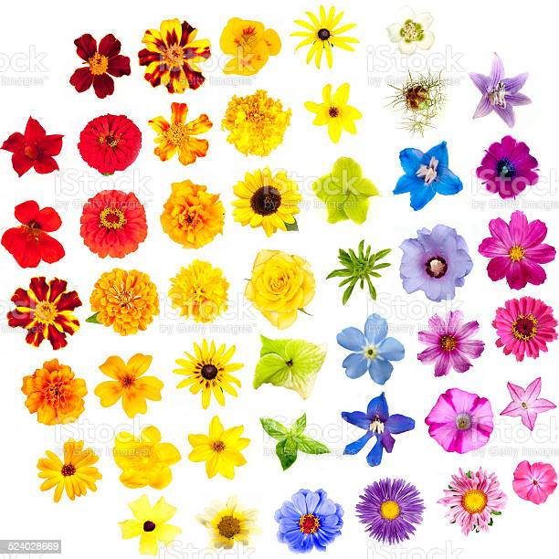 Various flowers isolated on white background colors of rainbow picture id524028669?b=1&k=6&m=524028669&s=612x612&h=utc3oa6aua89hsxl5 tepx4azzba 4v27zohv0cgqzw=