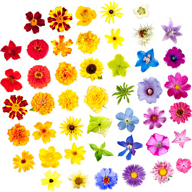 Various flowers isolated on white background colors of rainbow picture id524028669?b=1&k=6&m=524028669&s=612x612&w=0&h=m7basmscaoemvqsvn7tipvxrk9zli3nrcjqrcspc j0=
