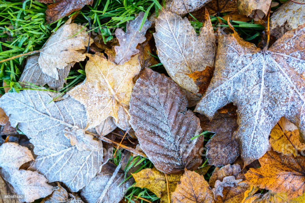 Close-up view of various dead leaves covered with frost lying on the grass stock photo