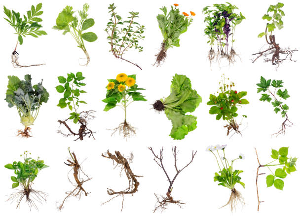 Various garden plants and flowers with roots. Isolated Various garden plants and flowers with roots. Isolated on white studio set root stock pictures, royalty-free photos & images