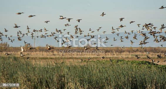 various group of ducks taking flight over wetlands