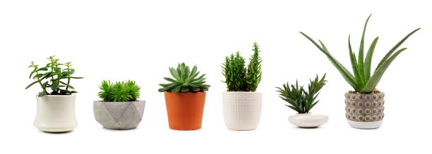 Various indoor cacti and succulents in pots isolated on white stock photo
