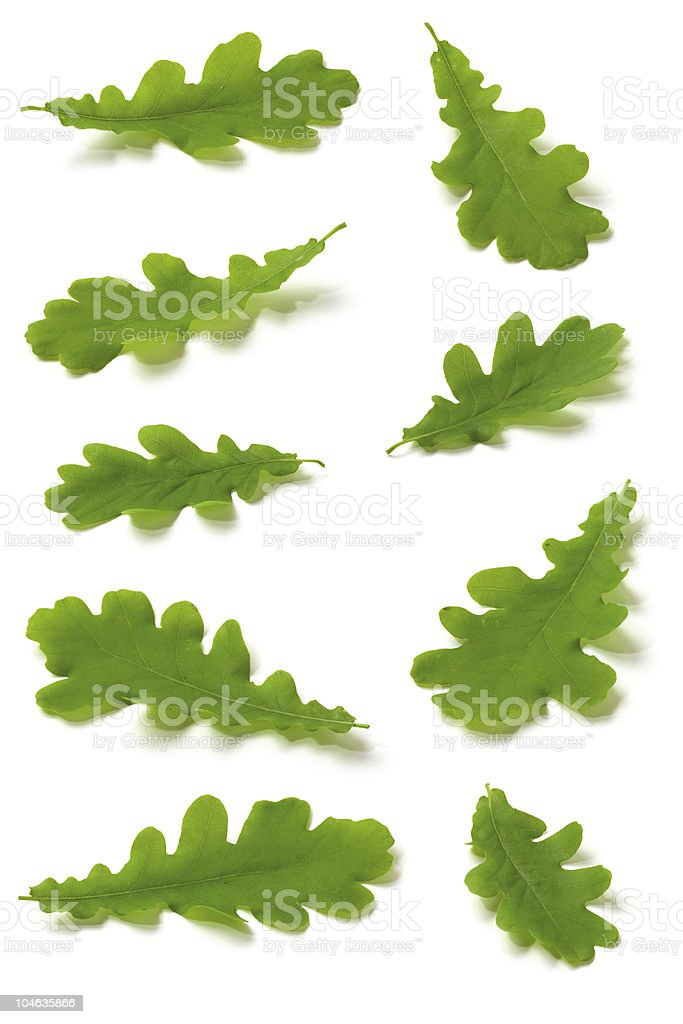 various Oak leaves stock photo