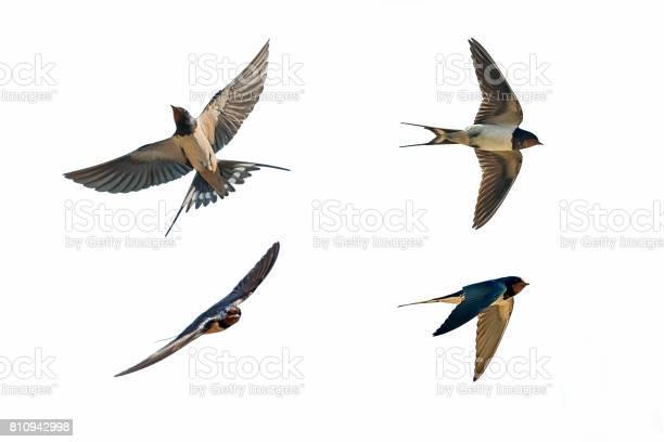 Various postures of swallow picture id810942998?b=1&k=6&m=810942998&s=612x612&h=unogtddvym 2h3b4gh2 8aj kexahqrtt coe1l q3m=