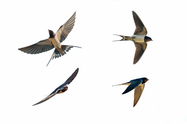 various postures of swallow - bird stock photos and pictures