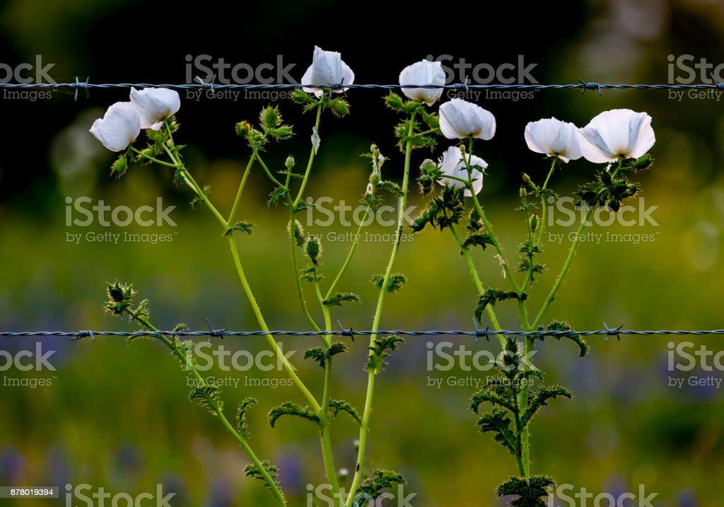 Diversas flores silvestres de Texas em um pasto de Texas ao pôr do sol com cerca - foto de acervo