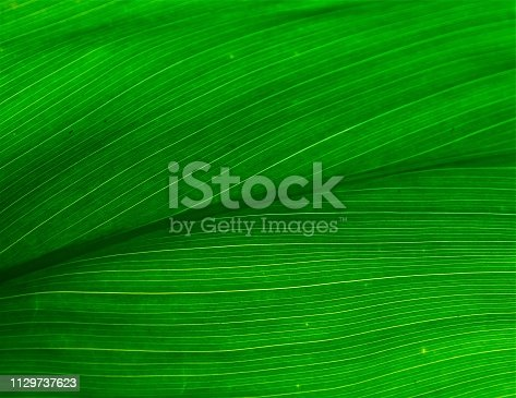 Various tropical plants: Oahu, Hawaii  Areca palm, bananas on tree, breynia disticha, bromeliad, bamboo, coconut palm, coleus, croten, fern, dieffenbachia leaf, dwarf elephant ears, heliconia, hibiscus, hydrangea, bread fruit,philodendron, ixora, hibiscus, rainbow eucalyptus trunk, anthurium, schefflera, ti leaf, taro and walking iris