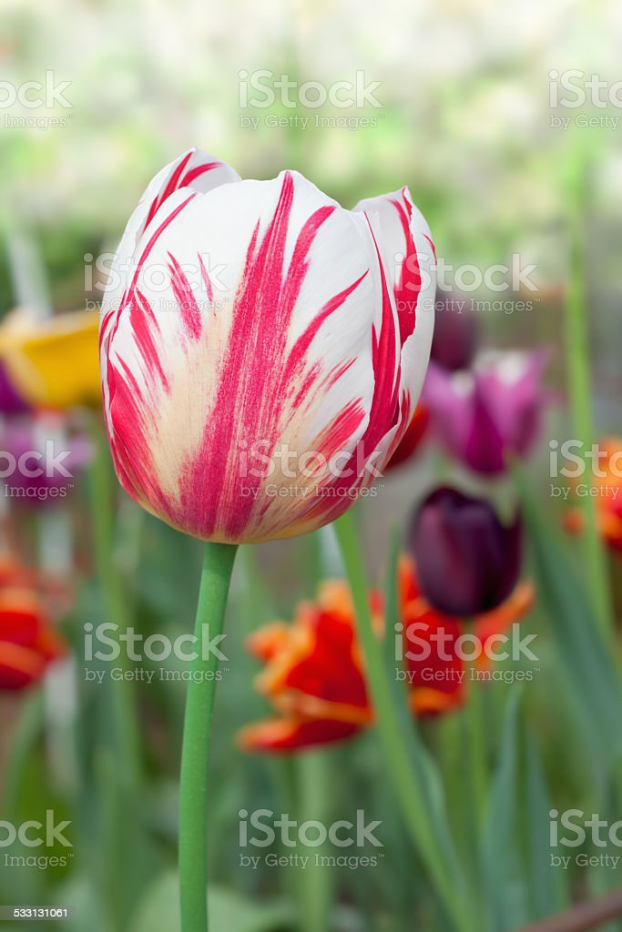 various tulips in a garden stock photo