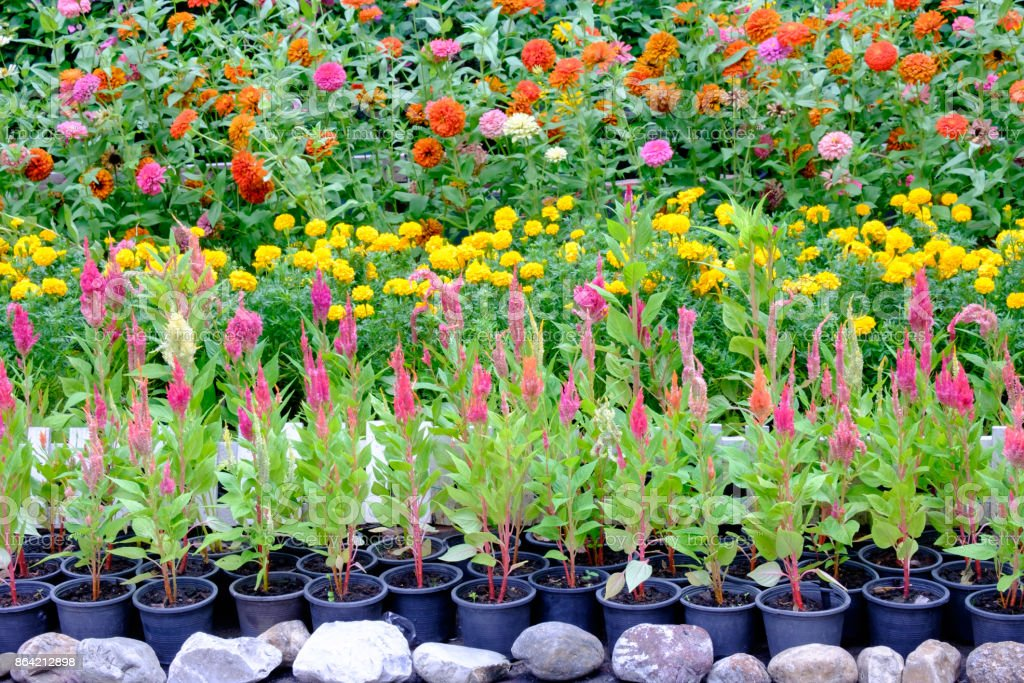 Various types of flowers in pots that are placed in the garden royalty-free stock photo