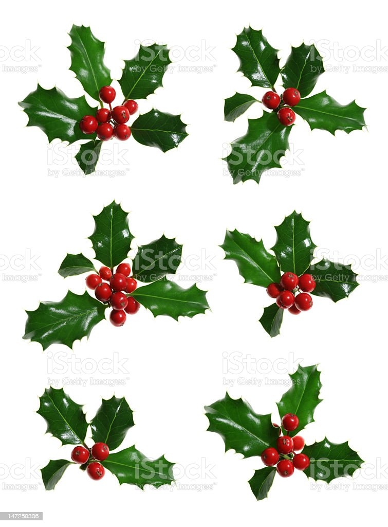 Various types of Holly isolated on white royalty-free stock photo