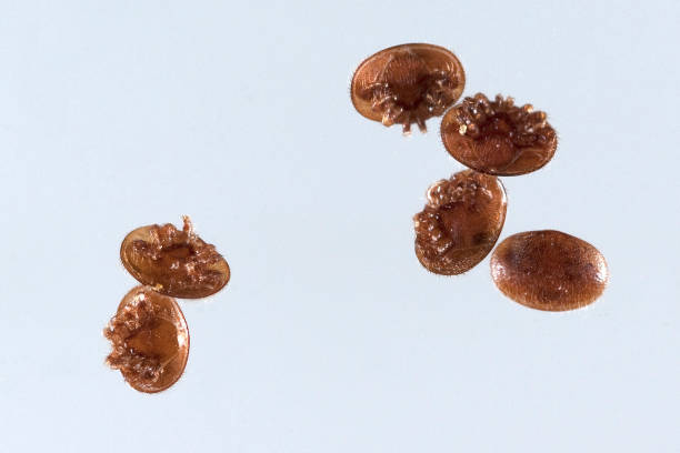 Varroa; destructor; Varroa mite stock photo