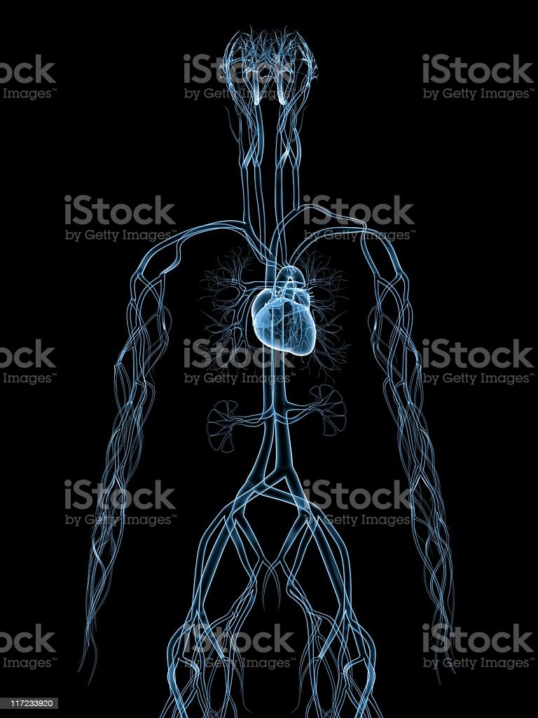 vascular system royalty-free stock photo