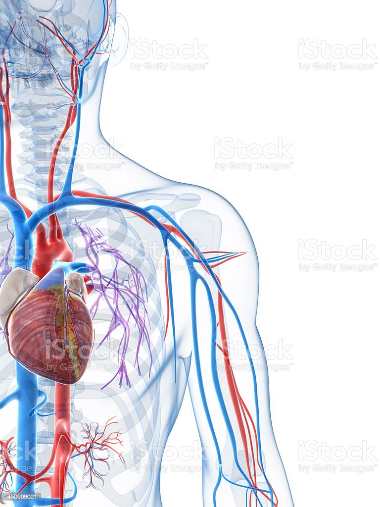 vascular system stock photo