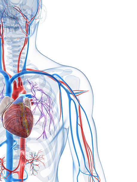 vascular system - cardiovascular system stock photos and pictures