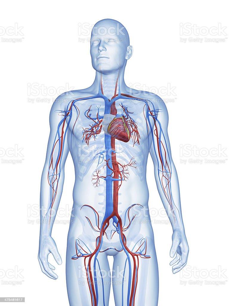 Sistema vascular - foto de stock