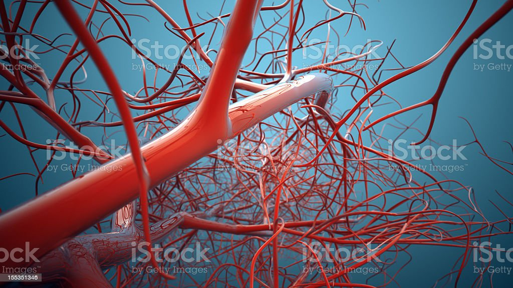 Vascular System, Veins royalty-free stock photo