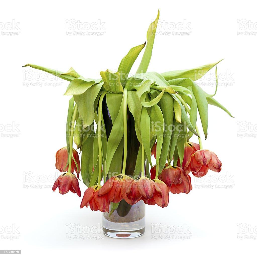 Vase of Dead Tulips stock photo