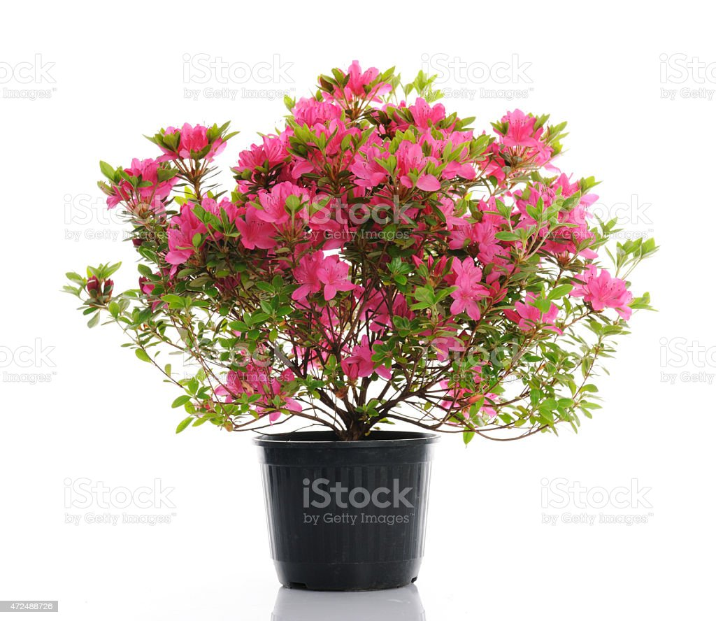 vase with blossom azalea stock photo