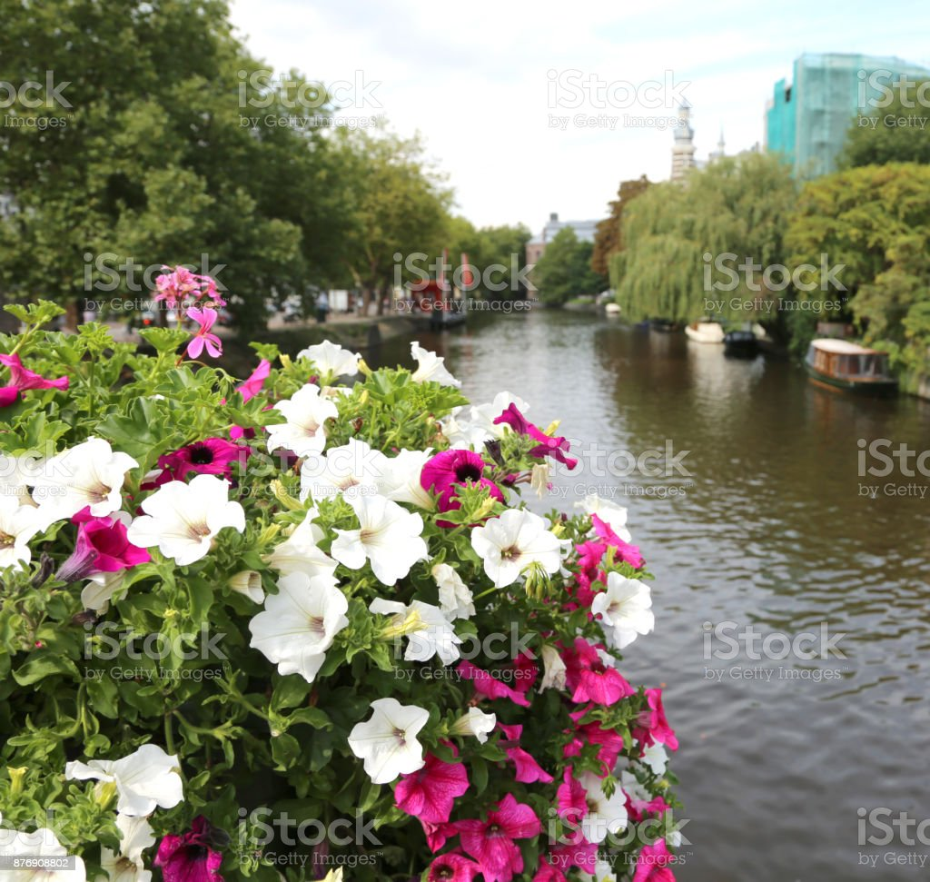 vase with many surfinia over the bridge over the canal in Amster stock photo