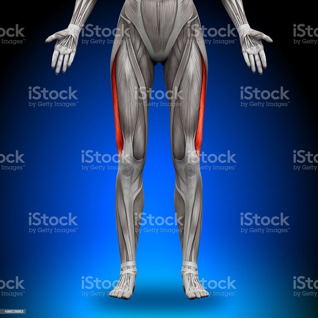 Vastus Lateralis - Female Anatomy Muscles stock photo