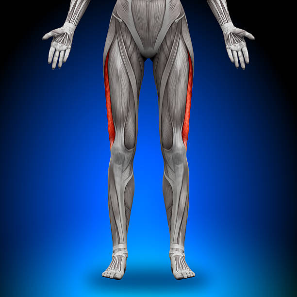 Best Quadriceps Muscle Stock Photos, Pictures & Royalty ...