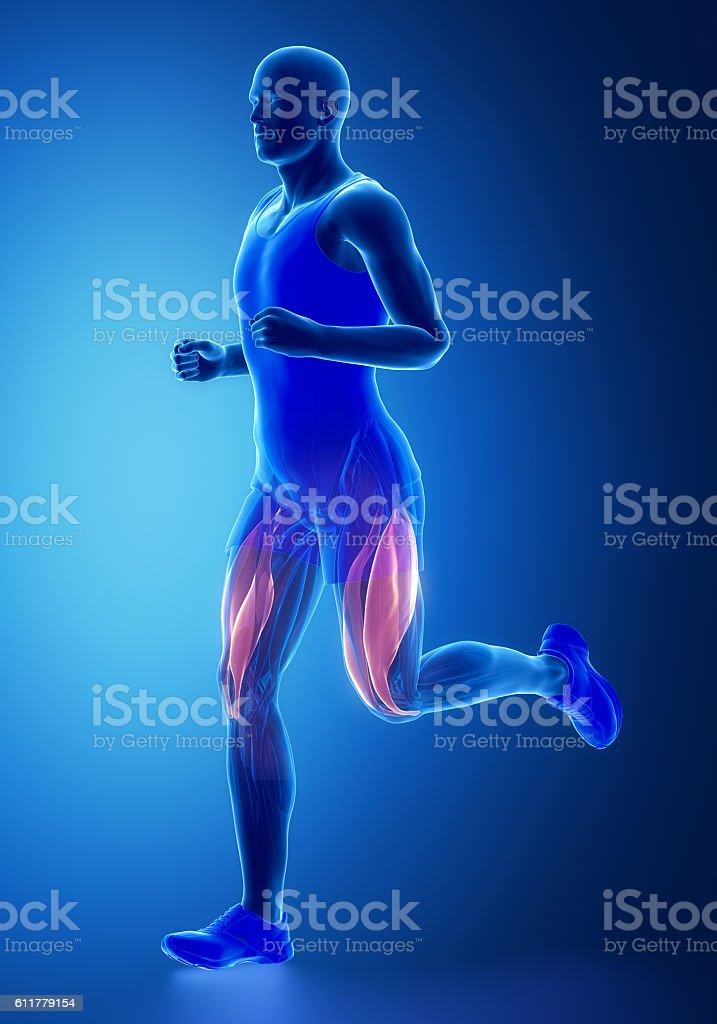 Vastus Medialis And Lateralis Human Muscle Anatomy Stock Photo ...