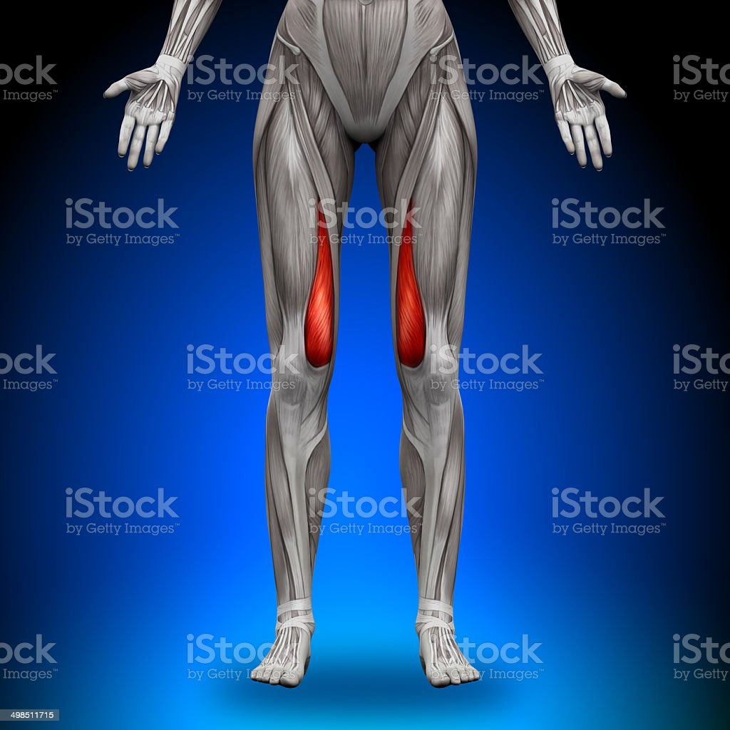 Vastus Medialis - Female Anatomy Muscles stock photo