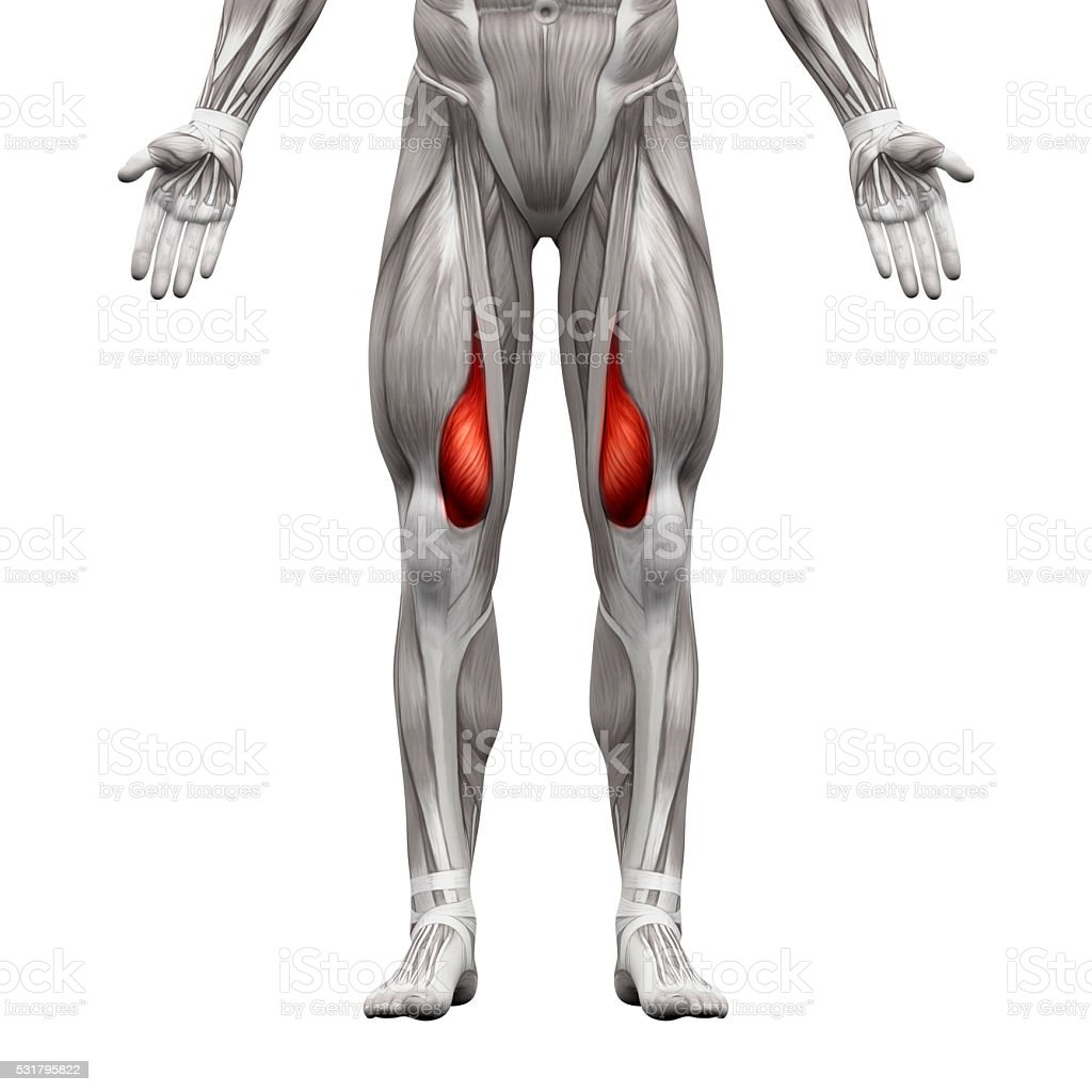 Vastus Medialis Muscle Anatomy Muscles Isolated On White Stock Photo ...