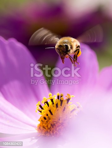 꽃잎이 다져가는 코스모스 위에 작은 애벌래 한마리...