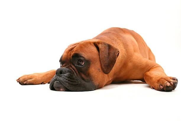 mam moje oczy na ciebie - bokser pies zdjęcia i obrazy z banku zdjęć