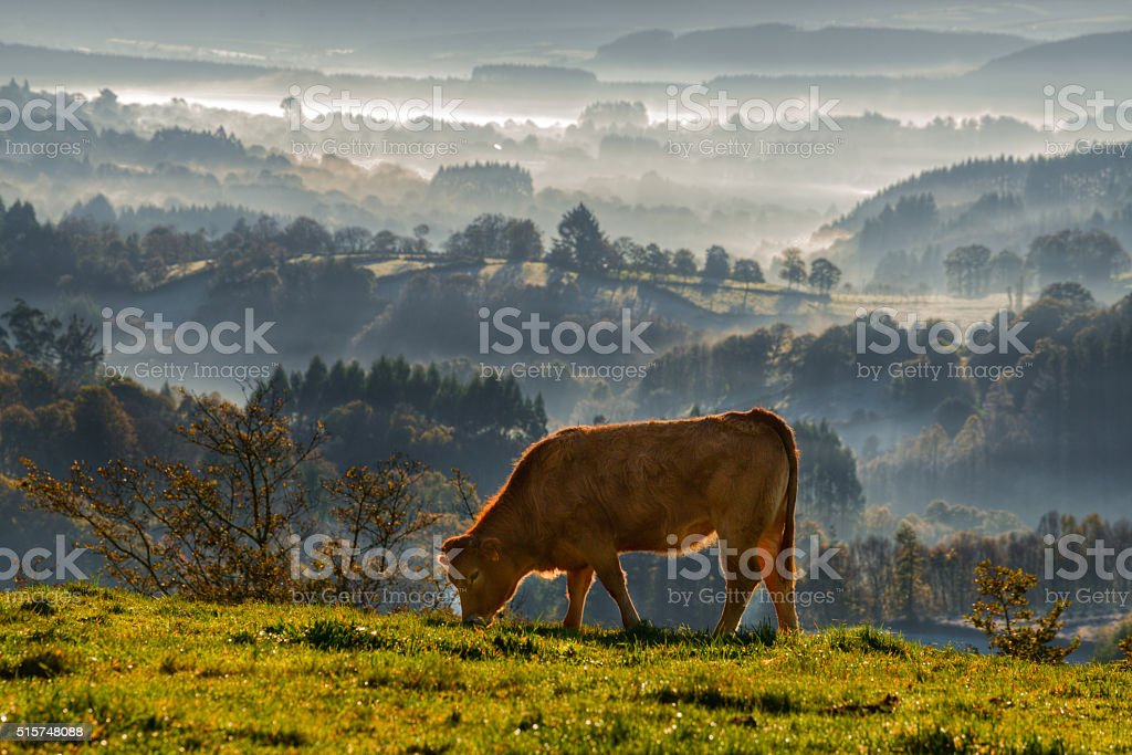 veal rubia galega grazing stock photo
