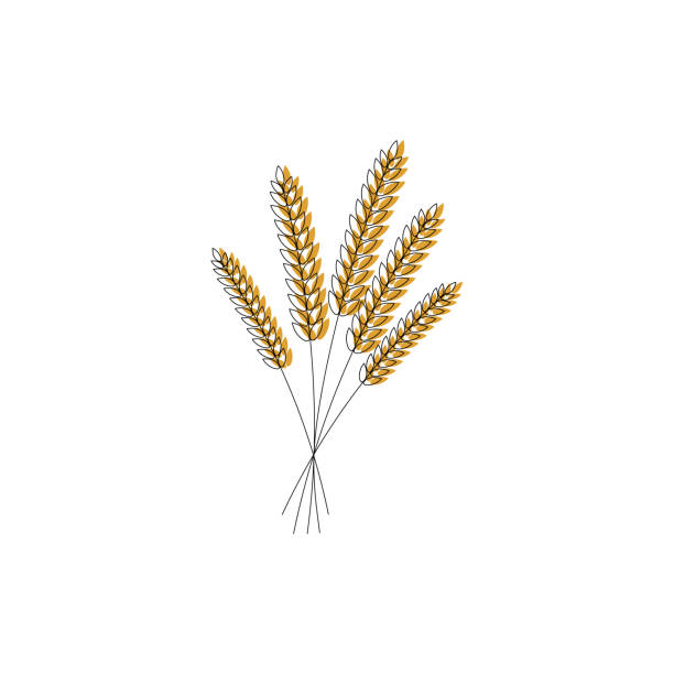 vector illustration of wheat, rye or barley ears with whole grain,wheat, rye or barley crop harvest symbol or icon isolated on white background. stock photo