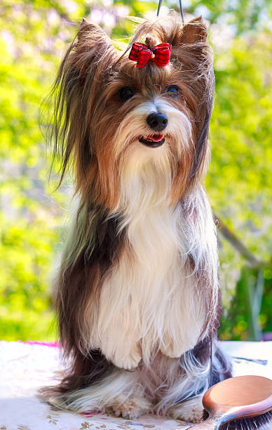 vektor pedigreed hund biewer yorkshire-terrier - lange zottige frisuren stock-fotos und bilder