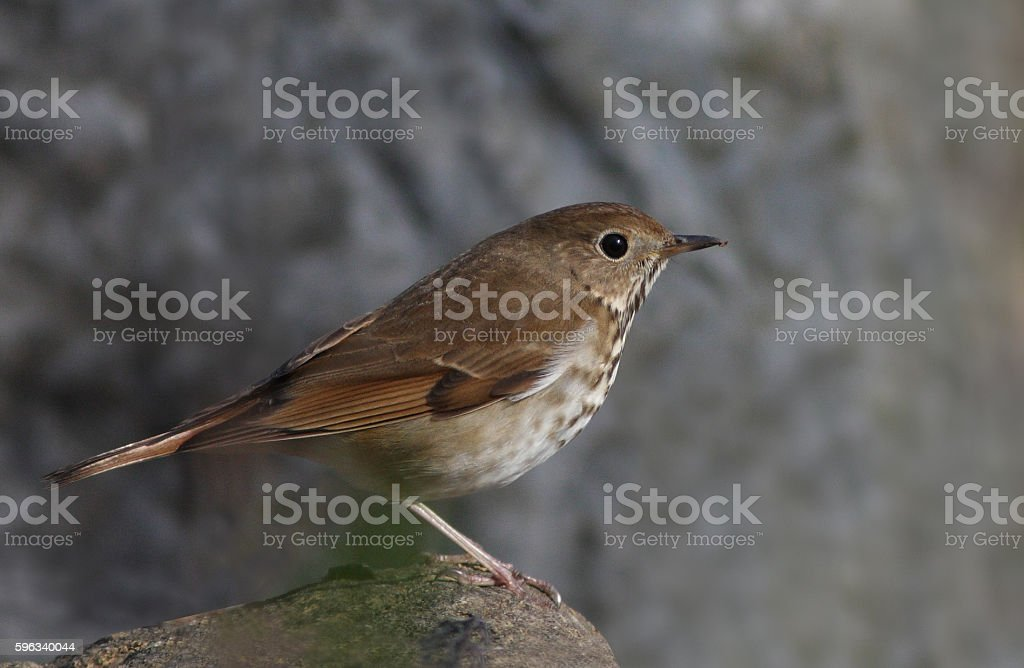 Veery in spring royalty-free stock photo