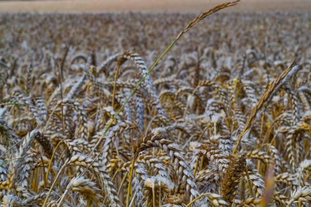 Vegan yellow golden wheat field stock photo
