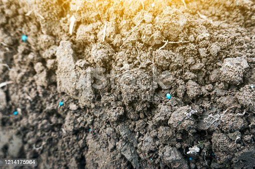 vegetable batch with blue Compound fertilizer in the soil