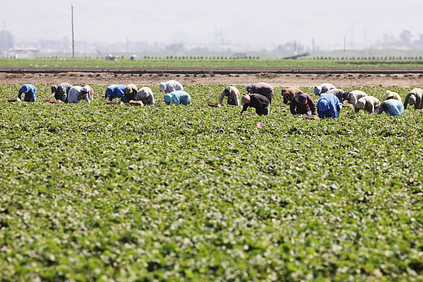 Vegetable Crop Harvest Farm Workers Salinas, California, USA - September 17, 2015: Crop harvest by agricultural workers who spend hours bent over in the sun manually picking produce for grocers. migrant worker stock pictures, royalty-free photos & images