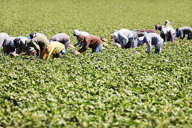 Vegetable Crop Harvest Farm Workers stock photo