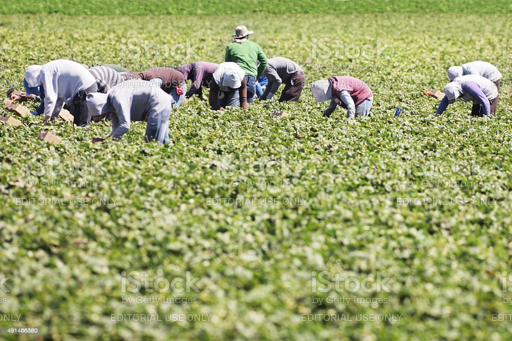 Vegetable Crop Harvest Farm Workers - Royalty-free 2015 Stock Photo