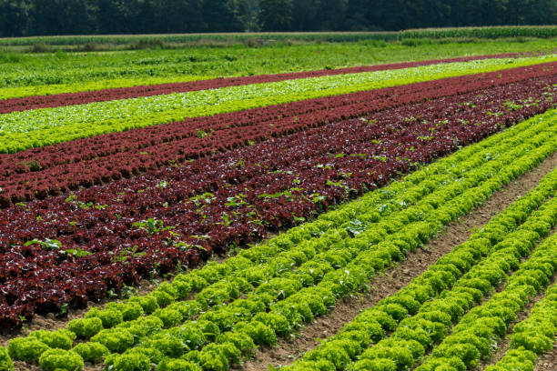 vegetable cultivation farm. cultivation of green salad - organic farm stock photos and pictures